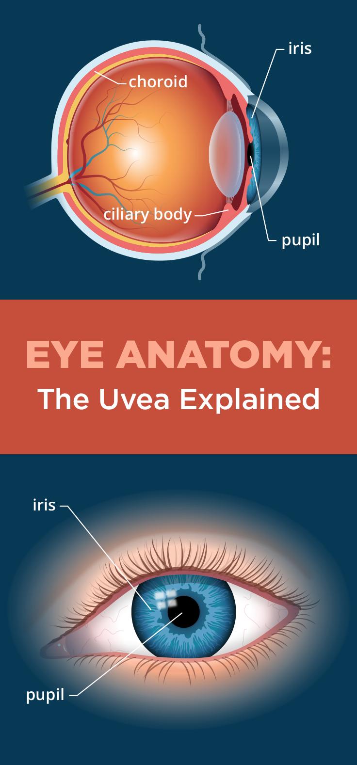 Iris and Uvea of the Eye - AllAboutVision.com | Classroom Ideas ...