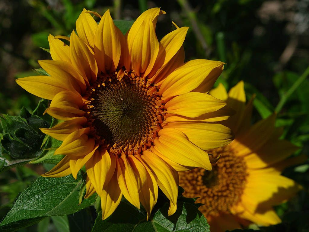 Sunflowers Yellow Sunflower Sunflowers And Daisies Planting Sunflowers