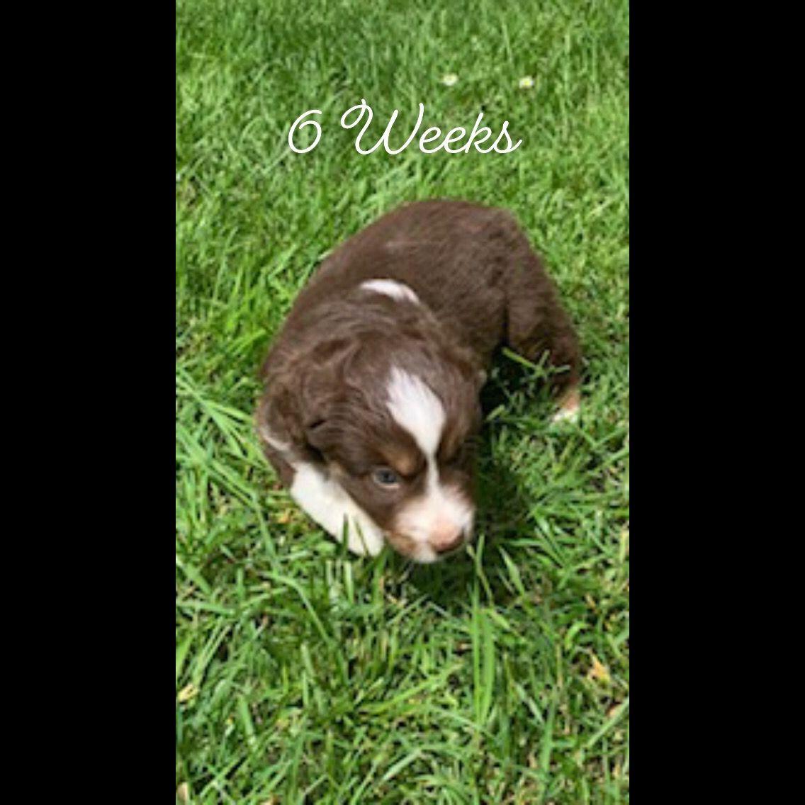 6 Weeks old Redtri Miniature American Shepherd in 2020