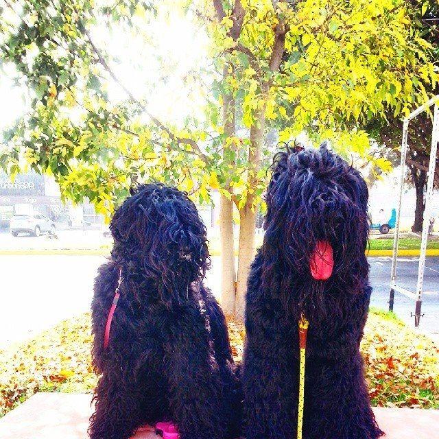 Black Russian terrier   Terrier ruso negro  Mickaela y Drug paseo en otoño   Guadalajara Mèxico