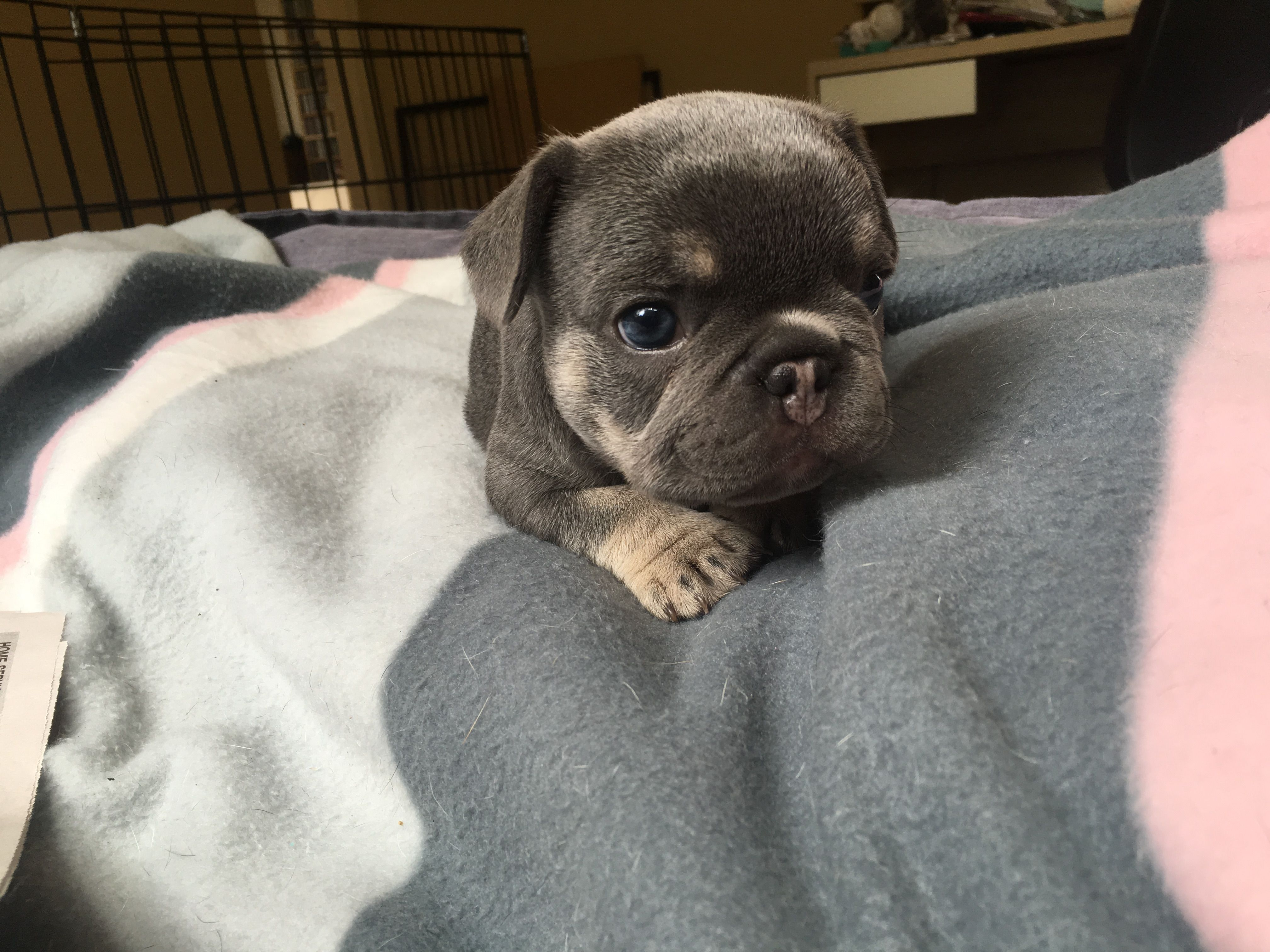 Blue With Tan Points French Bulldog Puppy Is The Most Amazing