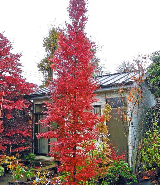 Image Result For Tsukasa Silhouette Garden Acer Palmatum Garden