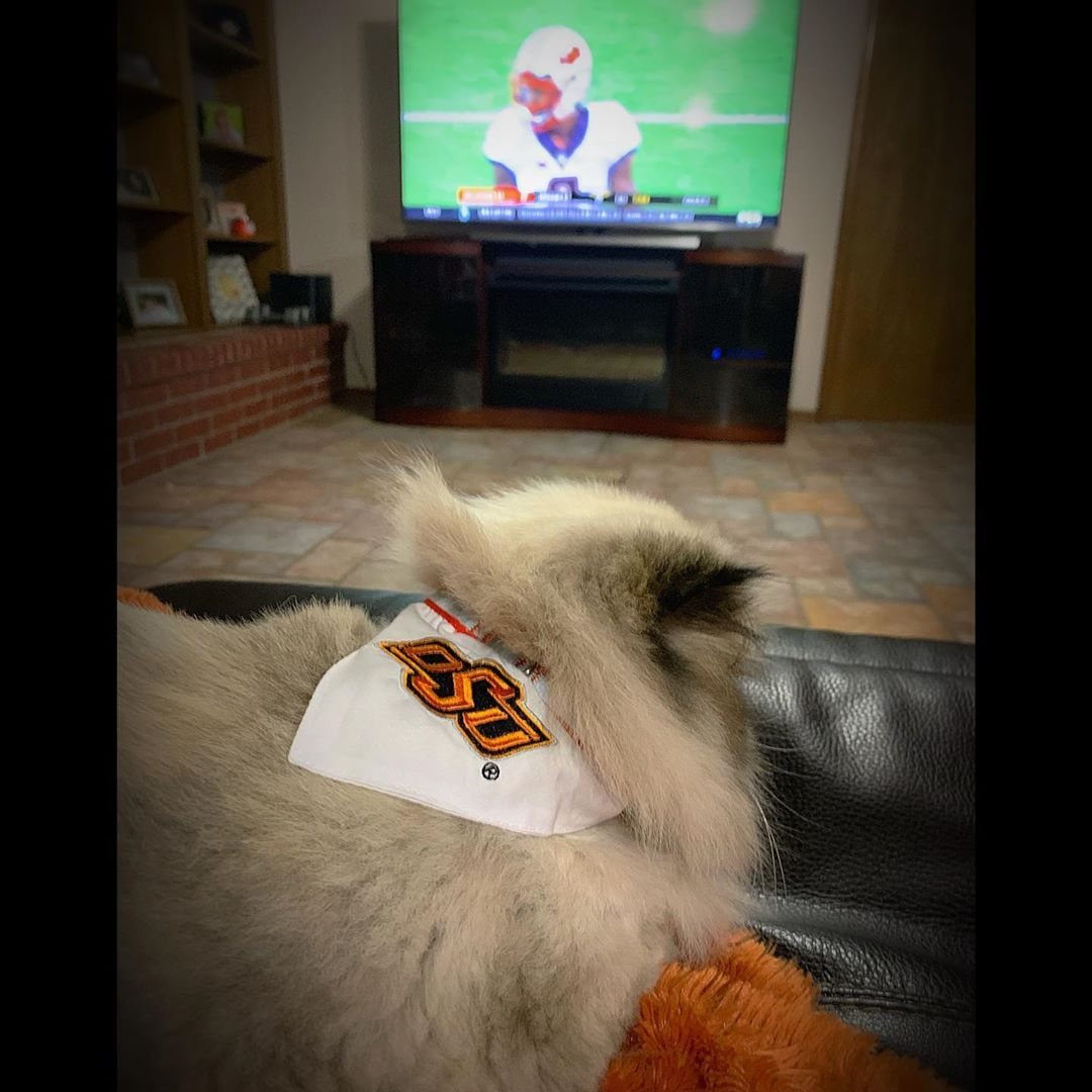 I Know Coach Gundy S Mullet Is Famous But I M Not One To Be Out Done My Osu Collar Really Accentuates My Hair Do Mull Himalayan Cat Grumpy Cat Persian Cat