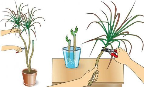 Drachenbaum #orchideenpflege