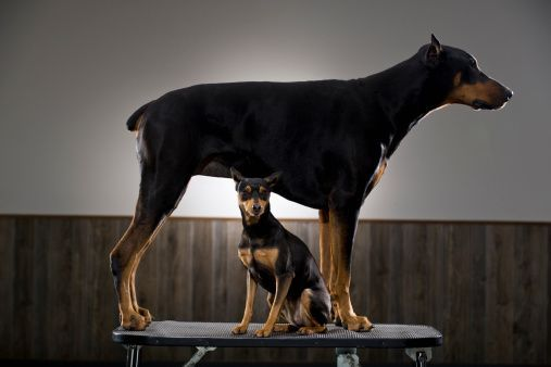 A Doberman Pinschers Skin Has A Tendency To Dry Out Easily