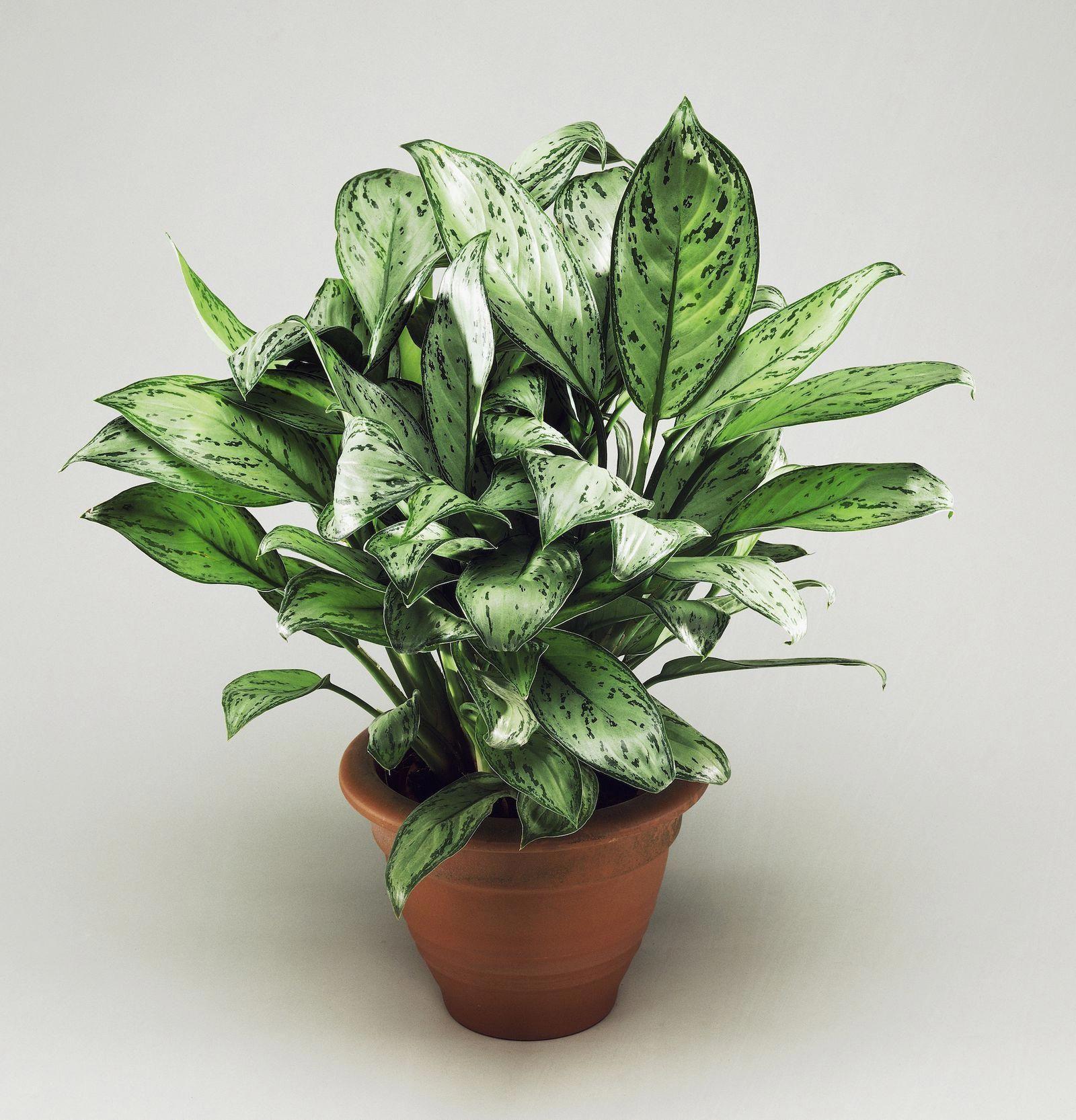 "31"" Aglaonema Chinese Evergreen Silk Plant w/Wicker Basket ... |Wholesale Silk Plants Chinese Evergreen House"