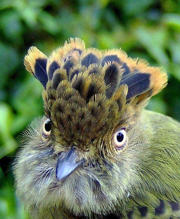 Scale-crested Pygmy Tyrant, Lophotriccus pileatus ...