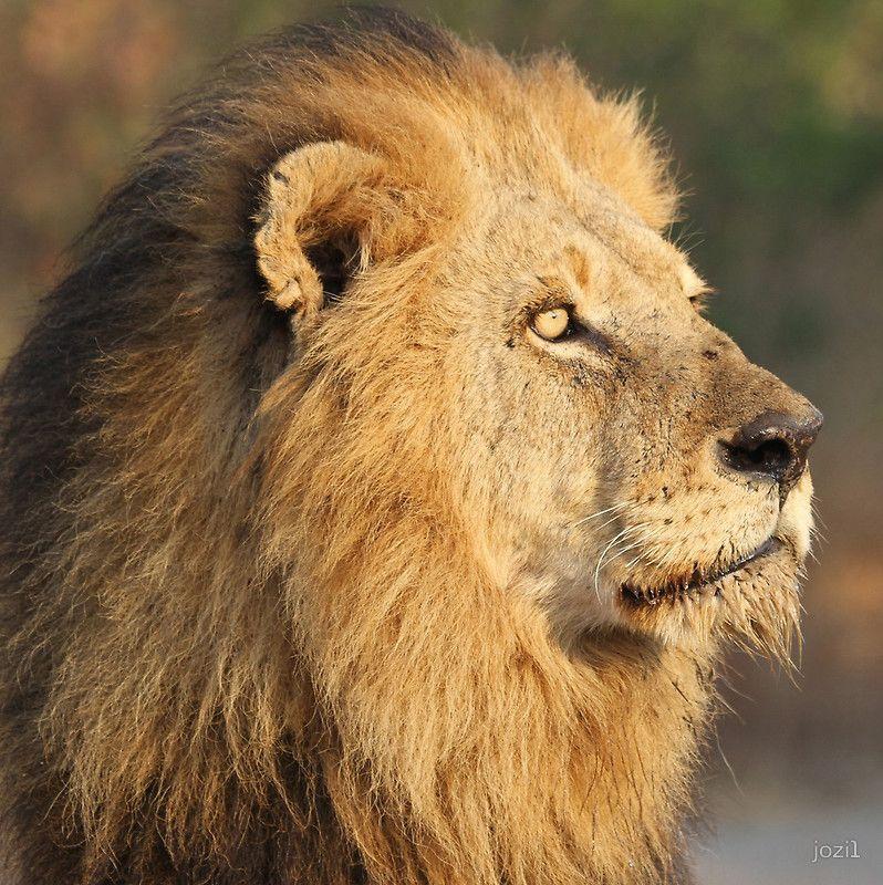 Panthera leo (Pretty Boy)