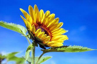 Deze zonnebloem neemt je mee naar de vakanties in Frankrijk waar hele velden met prachtige zonnebloemen staan te bloeien.
