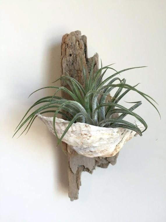 Wall Air Plant Holder Air Plant Holder Driftwood And Oyster Shell