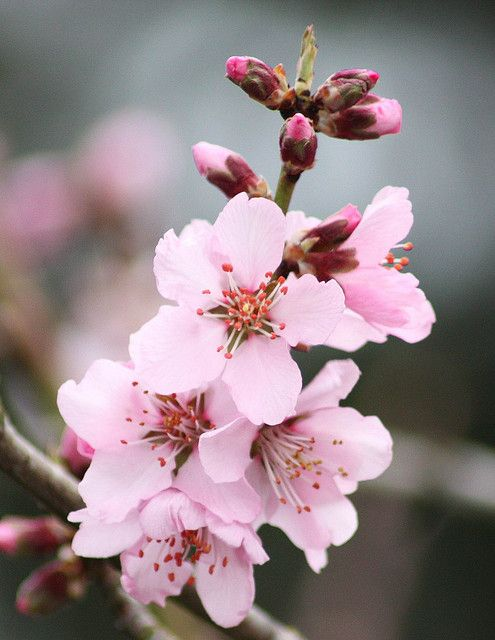 Cherry blossom closer   flowers   Pinterest   Cherry blossoms     Cherry blossom   everywhere and anywhere