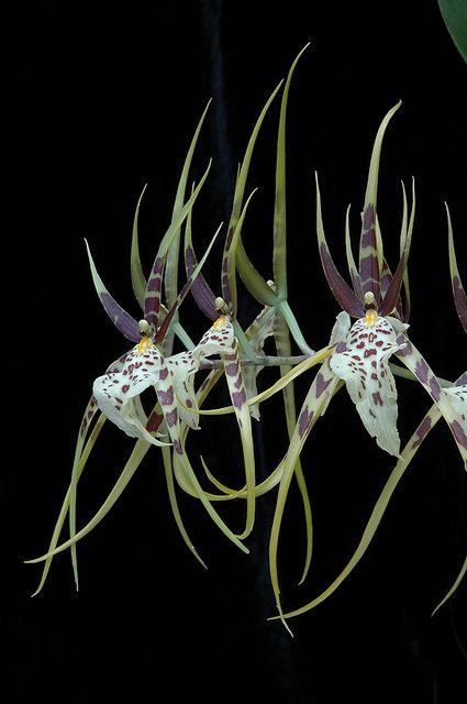 brassia eternal wind belles fleures pinterest orchid e fleur orchid e et fleurs. Black Bedroom Furniture Sets. Home Design Ideas