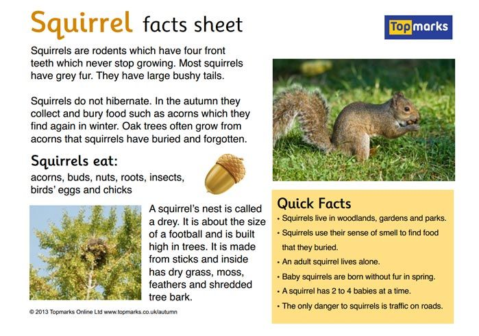 FREE Downloadable Fact Sheet About Squirrels For A Primary