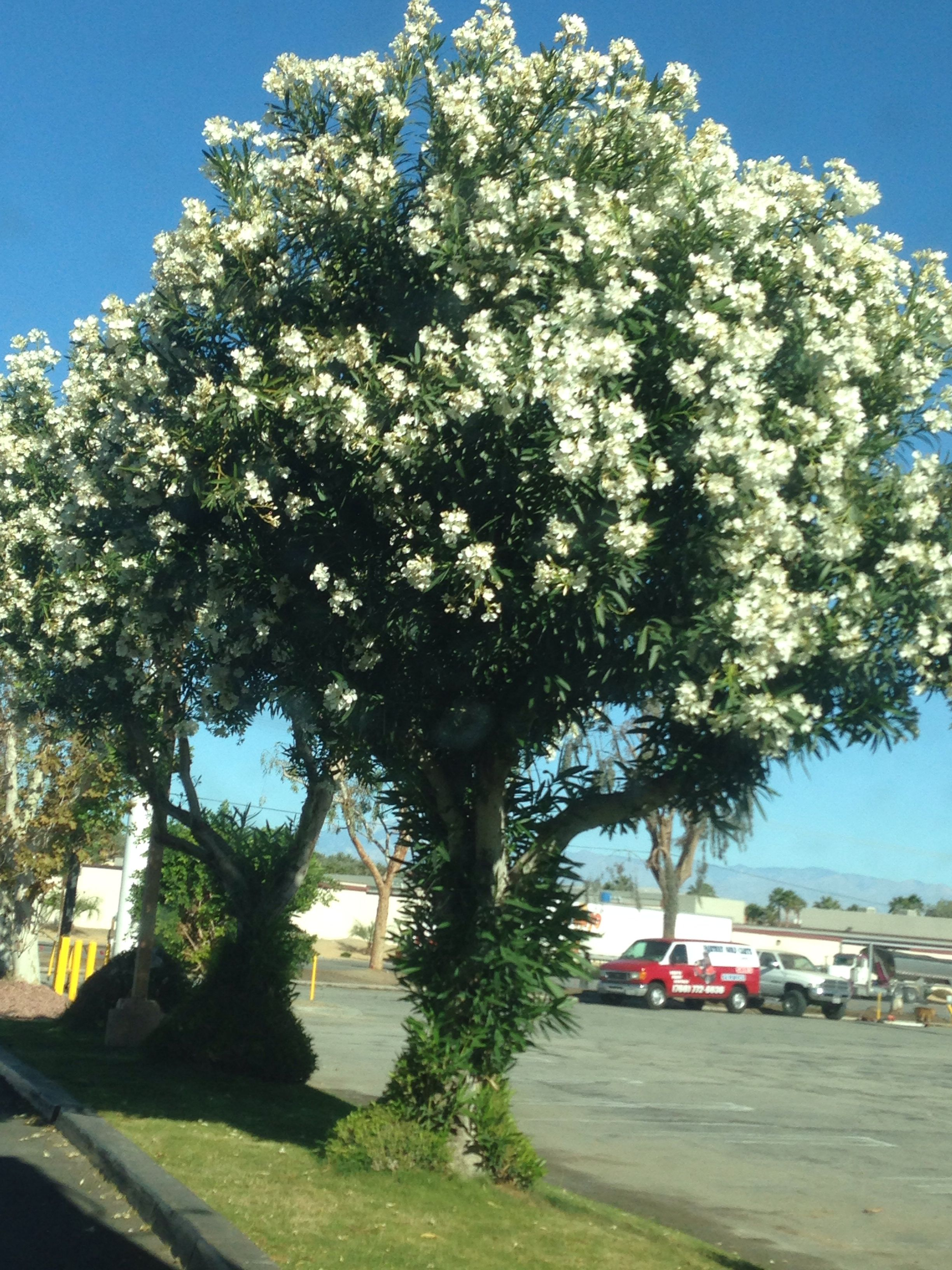 White Oleander Tree With Images Tree Hugger Beautiful