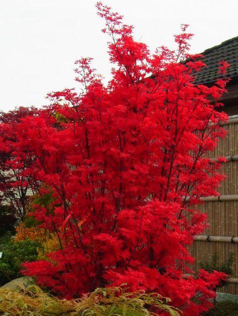 Fächerahorn 'Skeeter's Broom' - Acer palmatum 'Skeeter's Broom' #kleinevorgärten