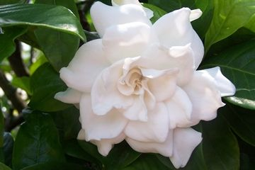 I Am A Sucker For Gardenias I Love Them Their Beautiful Porcelain White Soft Petals And That Amazing Fragrance Such Myst Flowers Bloom Gardenia