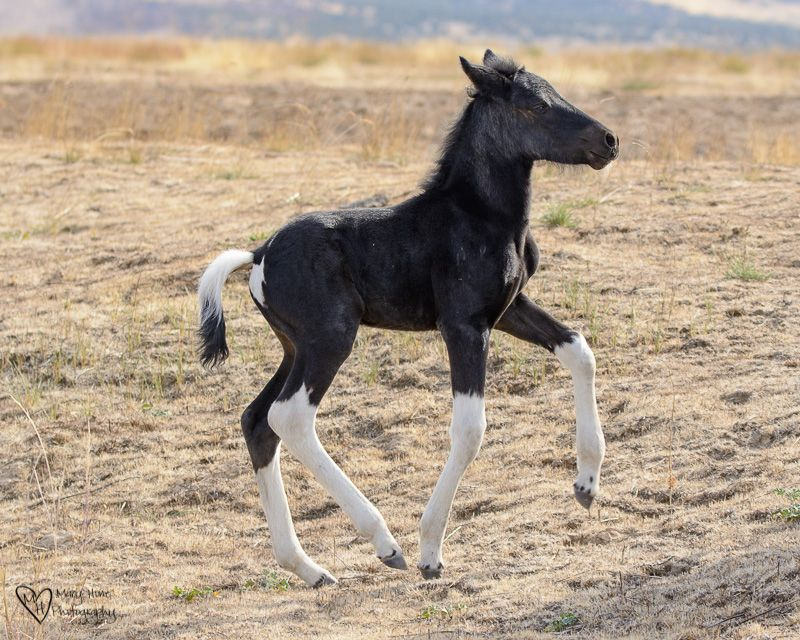 New Wild Liver Chestnut Paint Mustang Filly Trying Out Its Legs