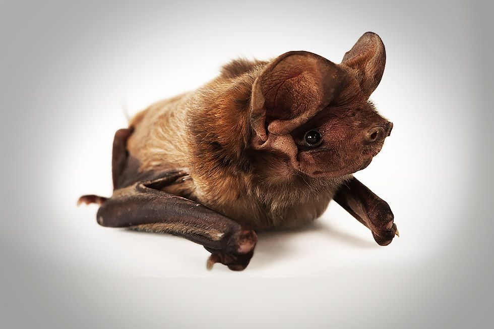 The World S Rarest Bat Is Discovered Living On A Golf Course In Miami Takepart