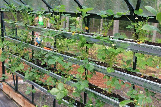 Growing Vegetables In A Greenhouse Growing Vegetables Gutter Garden Greenhouse