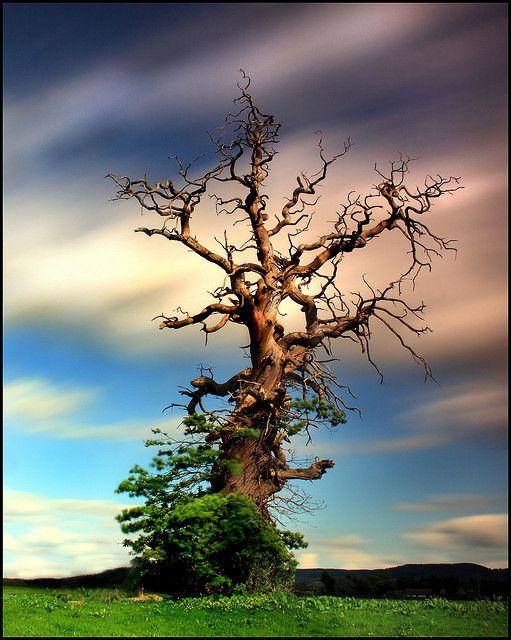 Old Tree(Sweetchestnut), Scotland