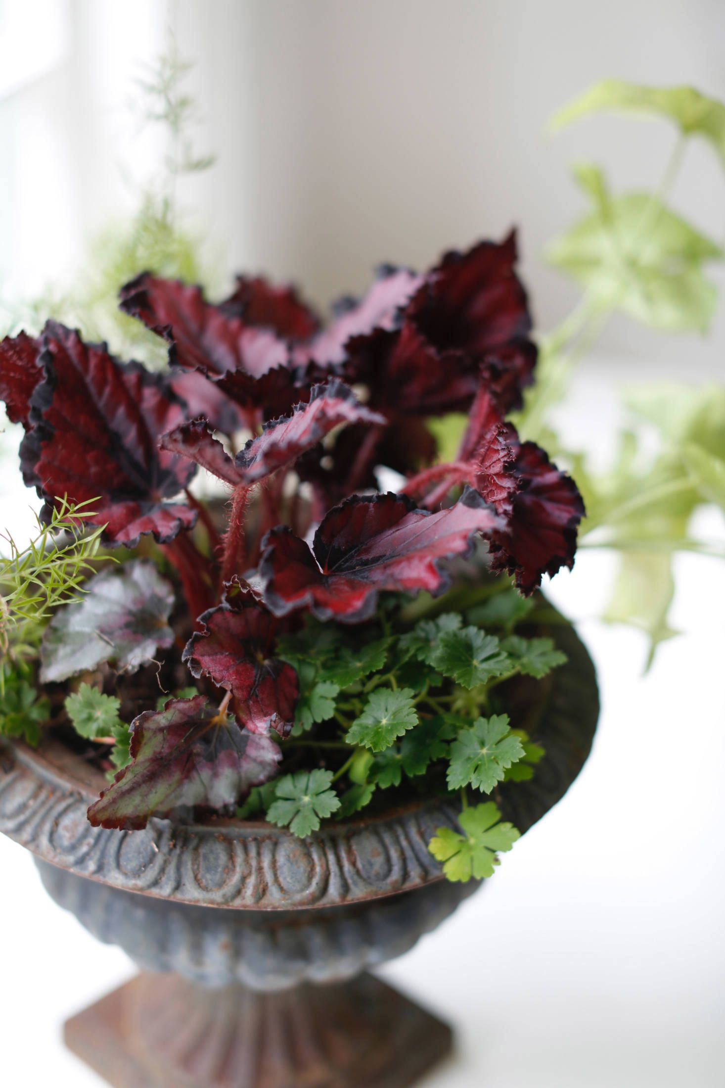 Houseplant Help 5 Tips To Keep Finicky Begonia Rex Alive Gardenista House Plants Plants Begonia
