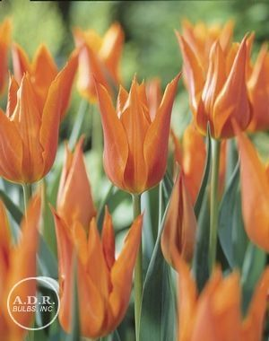 Tulipa Lily Flowering Ballerina Tulip Tulips Showy Flowers Bulbous Plants