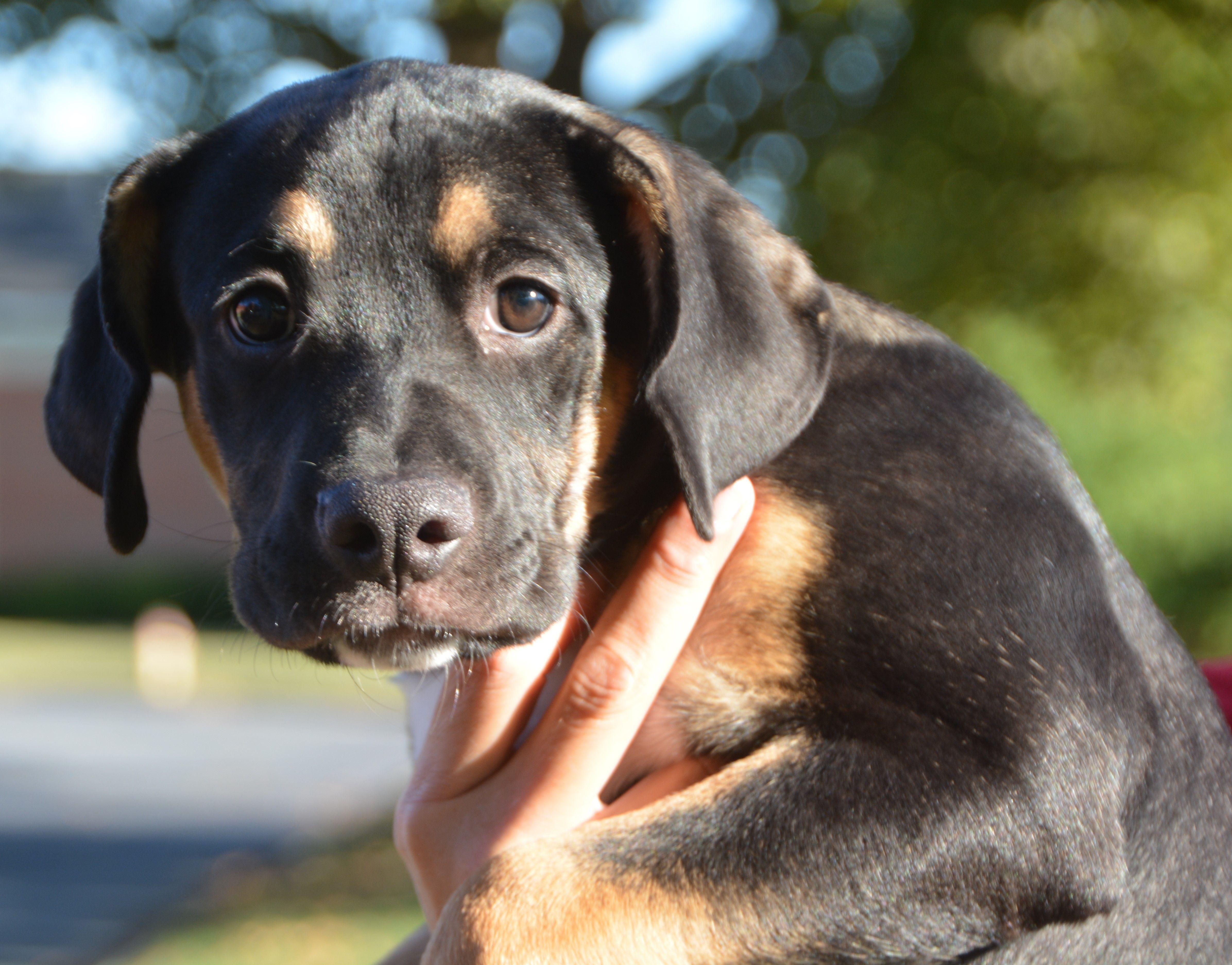 Adopt 2019opal On Petfinder Dog Adoption Dogs Rottweiler
