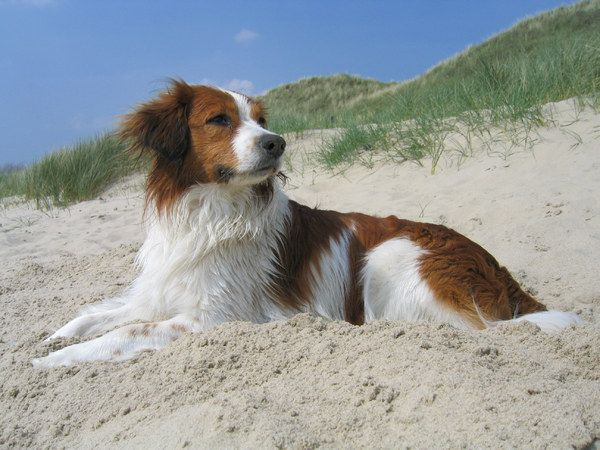 Pin By Ruthieblue On Kooikerhondje In 2020 Dog Love Dogs Dog Breeds