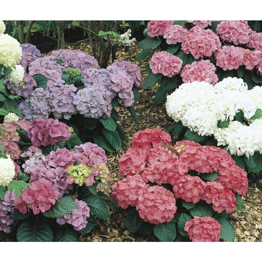2 25 Gallon Mixed Hydrangea Flowering Shrub L6357 Lowes Com In 2020 Flower Landscape Potted Trees Growing Hydrangeas
