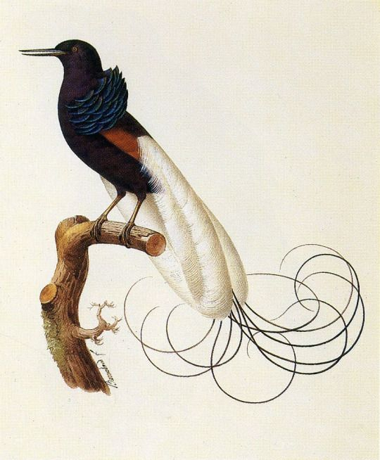 Twelve Wired Bird of Paradis by Jacques Barraband   Fine Feathered ...