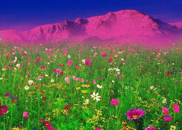 A Field Of Flowers In Front Of The Rocky Mountains Pikes