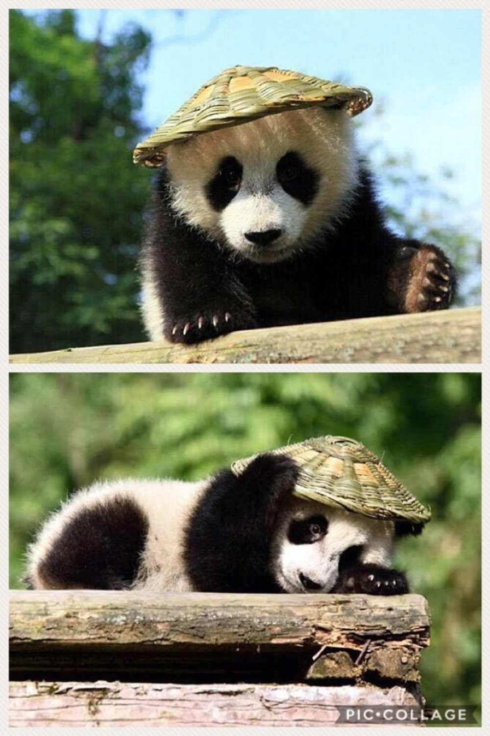Pin de Lisa Nault en PANDAS!!!!!!!!! | Pinterest | Osos, Animales y ...