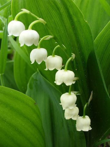 Lily Of The Valley Toxic Flower In 2020 Lily Of The Valley Spring Images Spring Garden