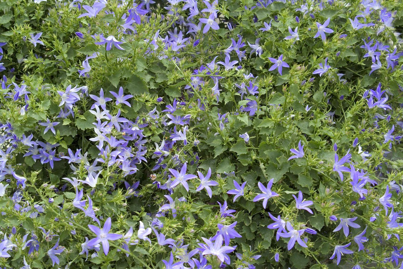 Blue waterfall serbian bellflower monrovia blue waterfall blue waterfall serbian bellflower monrovia blue waterfall serbian bellflower izmirmasajfo