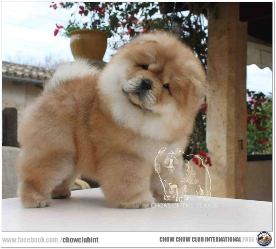 Chow Chow Club International Chow Chow Buy Puppies From