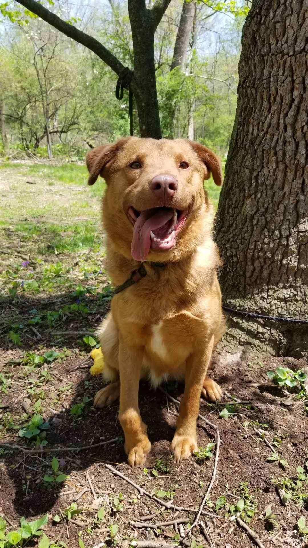 Adopt Scooby On Golden Retriever Rescue Golden Retriever Mix Dogs