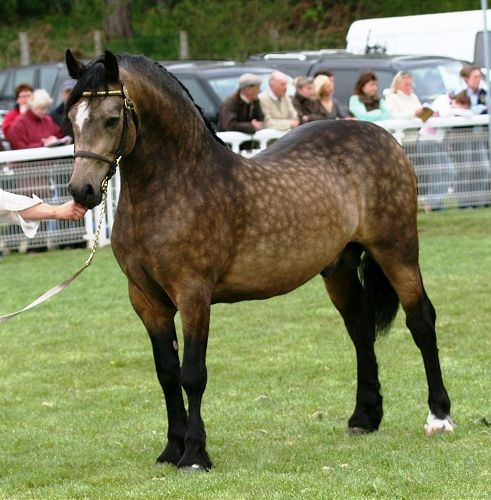 Stunning, dappled bay Welsh Cob  - best of welsh pony coloring pages