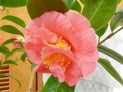 Http Www Camforest Com Product P C Bmcarthur4qt Htm Camellia Trees And Shrubs Forest Nursery