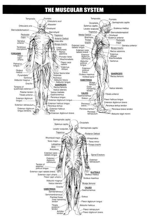 Muscular System Worksheets   Skeletal system muscular printable ...