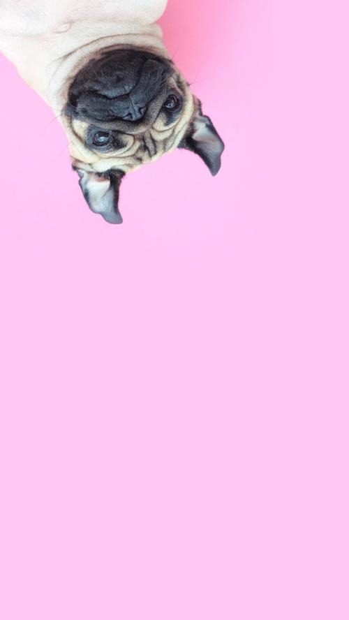 Imagen De Pink Background And Wallpaper Pug Wallpaper Pugs Dog Wallpaper