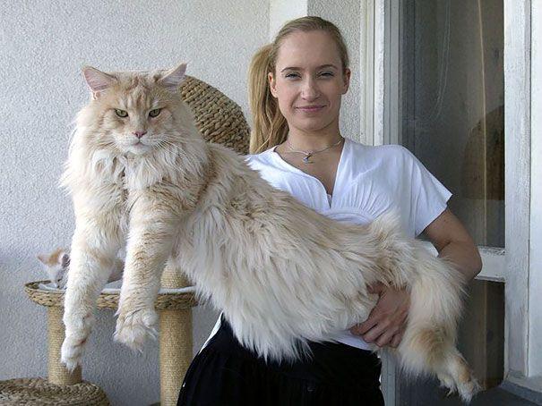 猫は断然 大きい方がいい という人のための大型猫 メインクーンの写真30枚 小太郎ぶろぐ メインクーン 子猫 猫 子猫