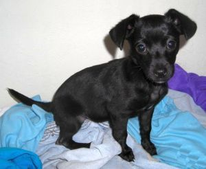 """From Petfinder: """"This little girl is a riot!  If you are looking for a clown to make you laugh, look no further, she is super funny and loves to rassle.  Gemma is a 3 1/2 month old lovebug who enjoys other dogs ,people and her toys.  She would love a family to call her own.  Gemma would be a great addition to any family or adult companion."""""""
