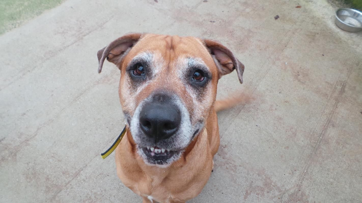 Sash Is A Beautiful 6 Year Old Rottweiler Cross Staffie Sash Is A