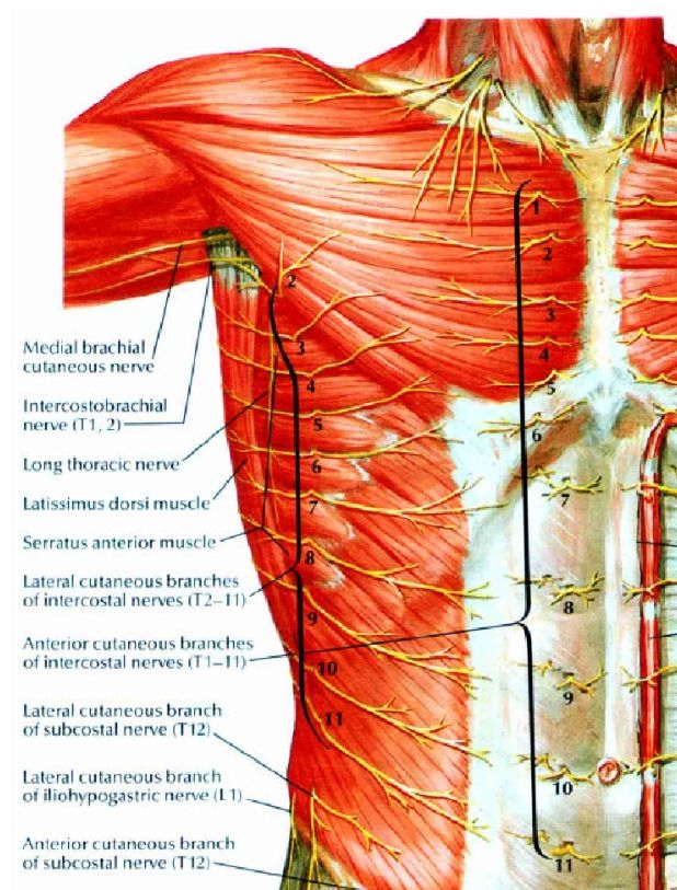 Superficial nerves of the thoracic region - Netter | Anatomy | Pinterest