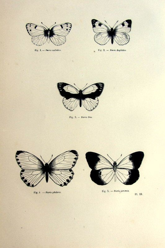 Vintage 1860 butterflies butterfly antique print, original lepidoptera french engraving, papillons plate illustration, insects entomology