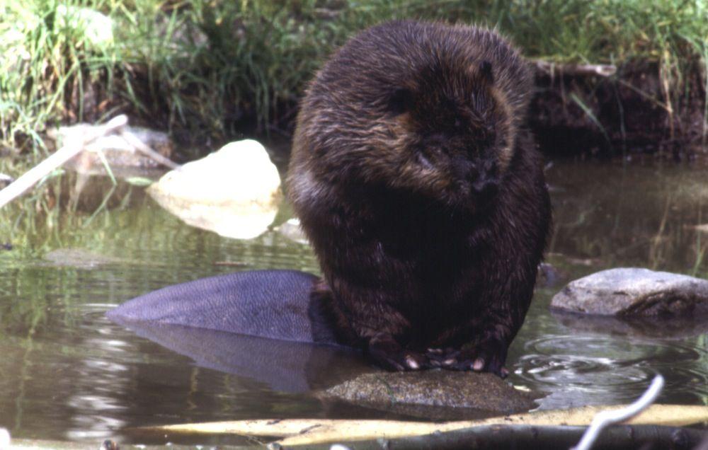 Beaver, Ähtäri Zoo in Finland