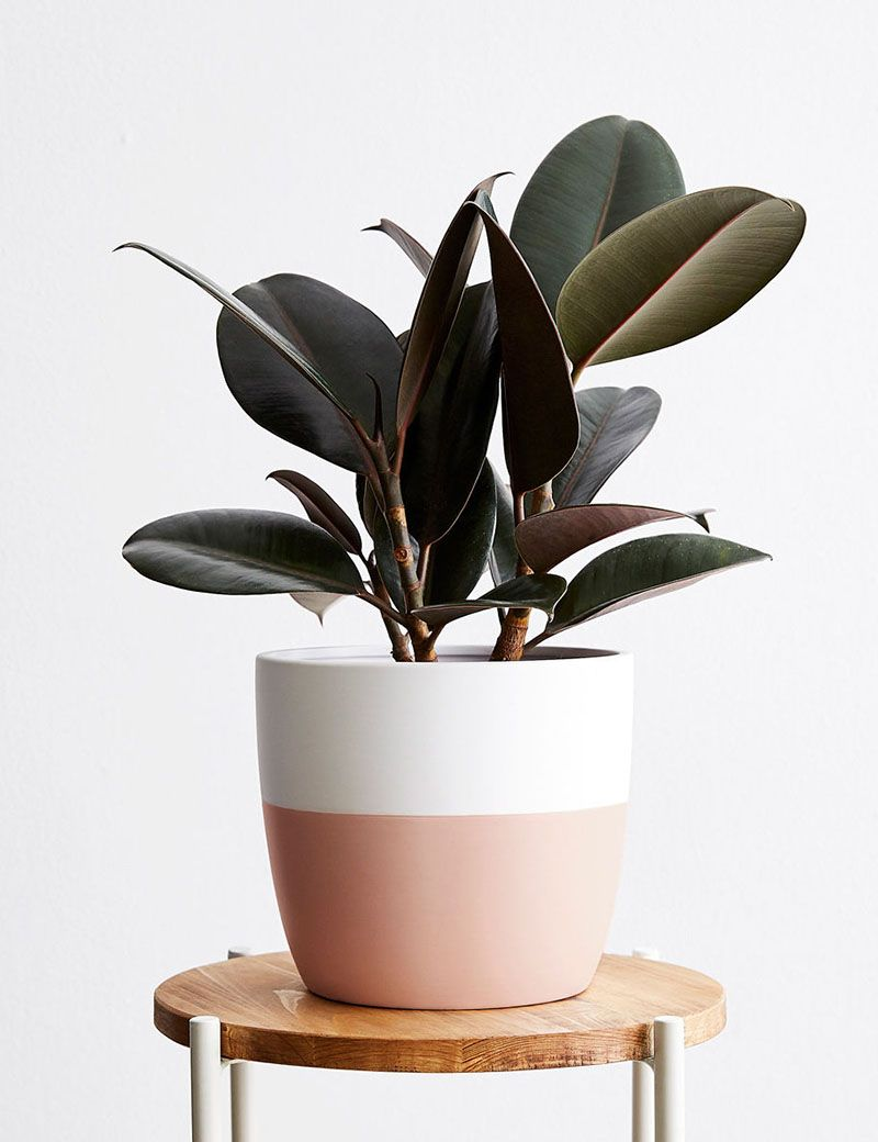 Complete Guide to Caring for 15 Indoor Plants is part of Rubber tree, Rubber tree plant, House plant pots, Plants, Popular house plants, Indoor plants - You don't have to label yourself a 'green thumb' to care for these 15 popular house plants  We answer all your caretaking questions for indoor plants!