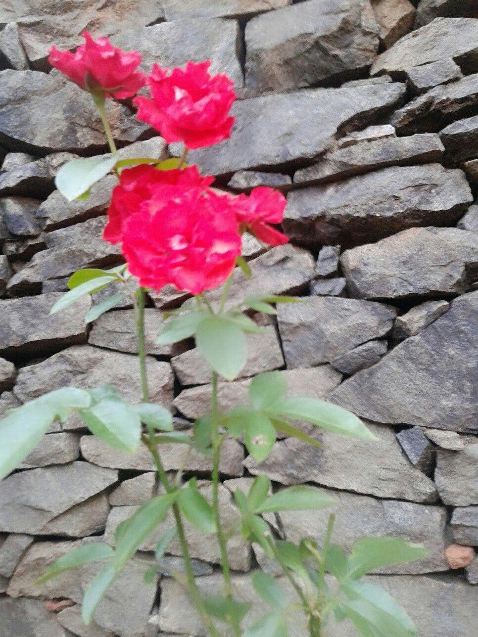 lovely roses ♡love gardening♡ | mobile photographs | pinterest