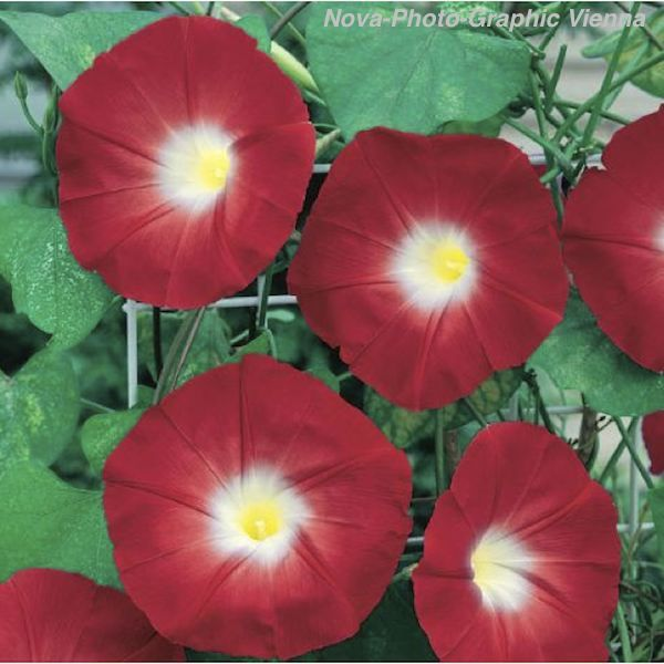 Morning Glory Seeds 26 Morning Glories Heavenly Blue Grandpa Ott Morning Glory Flowers Morning Glory Seeds Flowering Vines