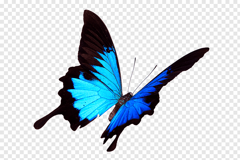 Monarch Butterfly Papilio Ulysses Graphy Blue Occasion Png Butterfly Painting Butterfly Watercolor Blue Morpho Butterfly